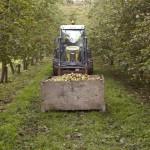 Healeys_Healeys-Cornish-Cyder-Farm_Tractor-in-Healys-orchard (1)