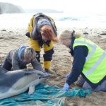 Common dolphin stranded being recorded by trained volutneer, C-2010-50 Jeff loveridge 2C-orig