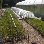 Growing Griselinia